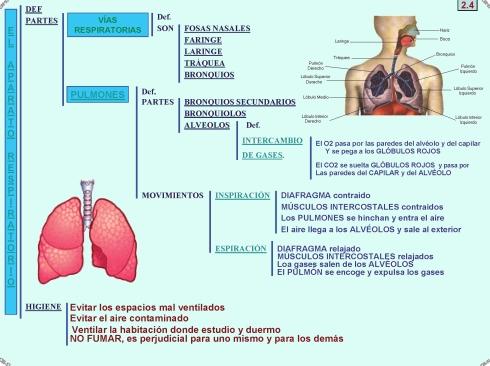2.4 El aparato respiratorio