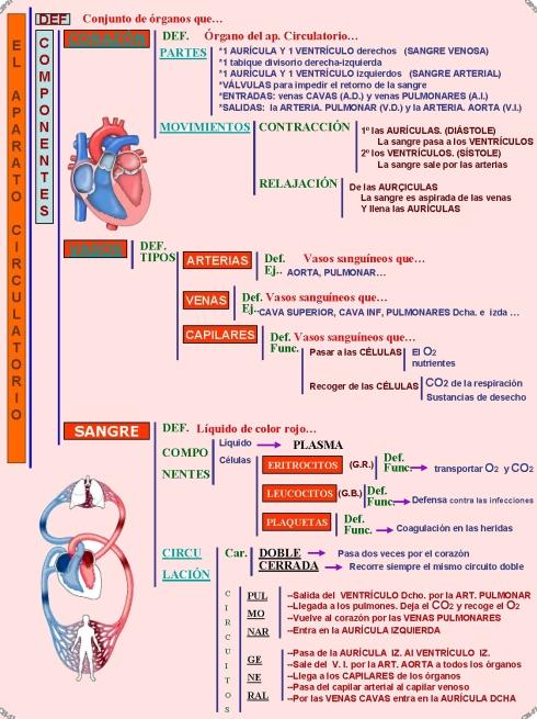 2.5 El aparato circulatorio